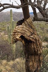 Dropping his pants... (Distraction Limited) Tags: sabinocanyon coronadonationalforest santacatalinamountains catalinamountains catalinas nature tucson arizona sabinocanyon20161228 carnegieagigantea cactus sabinocanyonrecreationarea saguaro