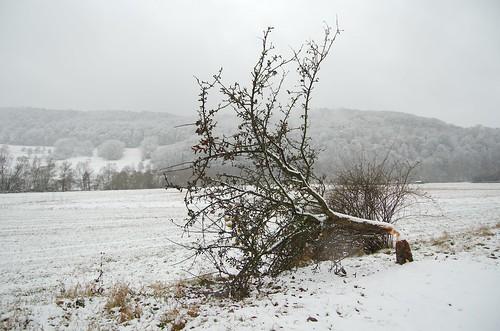 felled tree