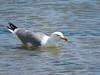 Yellow-legged Gull (Larus michahellis) (Brian Carruthers-Dublin-Eire) Tags: laridae larus cachinnans yellowlegged gull gelbfussmove geelpootmeeuw bird laruscachinnans yellowleggedgull charadriiformes