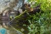 Eurasian Wren (Troglodytes troglodytes) Karietaitė