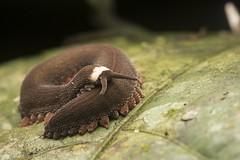 Odd Oroperipatus (antonsrkn) Tags: velvet worm oroperipatus cordillera escalera conservation peru invertebrate wild unusual strange macro nikon nikkor night jungle cloud forest leaf onychophora