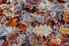 Eichenlaub (anubishubi) Tags: blätter laub eiche oak raureif herbst hdr lumixtz101 leaves foliage hdraward