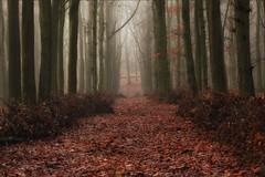 Ashridge Mist IV (meniscuslens) Tags: leaves mist forest wood trees hedge winter national trust