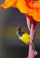 P1450604 copy (danniepolley) Tags: birds philippines nature animal bok bokeh beauty olivebacked sunbird nectarinia jugularis