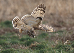 Head First (slsjourneys) Tags: owls shortearedowls