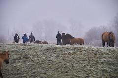 30-12-2016 - Oostvaardersplassen - DSC09355 (schonenburg2) Tags: oostvaardersplassen konikpaarden winter