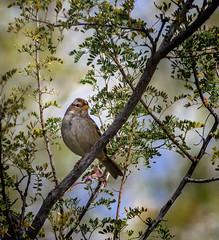 Keepin' Out-a Trouble (Explored) (Portraying Life, LLC) Tags: unitedstates bird sparrow wild ventanacanyonwash handheld nativelighting arizona