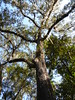Ocala, FL, Silver Springs State Park, Swamp Oak with Spanish Moss (Mary Warren 9.7+ Million Views) Tags: ocalafl silverspringsstatepark nature flora tree oak swampoaktree leaves foliage spanishmoss green