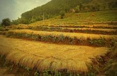 NEPAL, Fahrt nach Pokhara, Ernte, 15220/7923 (roba66) Tags: rice terassen ricefields ernte erntezeit reislandwirtschaft farm bauern farmer reisen travel explore voyages roba66 visit urlaub nepal asien asia südasien landschaft landscape paisaje nature natur naturalezza plants pflanzen colores color colour coleur