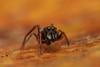 myrmarachnne (johnalexandergiraldo) Tags: salticidae jumping spider spiders macrofotografía arañas saltarinas fotografía naturaleza insectos insects profundidaddecampo animal brillante insecto alimento photography macrophotography reverselens airelibre
