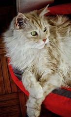Mr. Sids Favourite Place... (Alex M. Wolf) Tags: sidney sid cat katze kater mainecoon alexmwolf fuji xe2s cats cato gattone gato gatto felin felidae felino chat körbchen relaxing relax