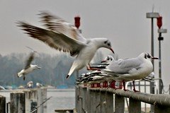 Birds (heiko.moser (+ 11.300.000 views )) Tags: natur nature natura nahaufnahme bird birds vogel vögel tier tiere animal animale fauna farbig canon color heikomoser