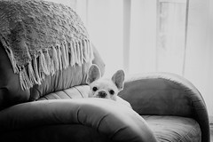 Peek a boo (Andrezza Haddaway) Tags: dog bw cute sweet lovely adorable chair peekaboo home
