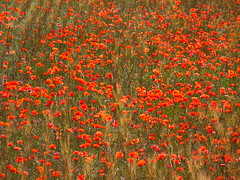 Coquelicots (Rudy Pické) Tags: france paca fontvieille