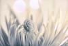 DSC8537 (CJ Luck) Tags: autumnflower blue bokeh cj chrysanthemum dof featherchrysanthemum garden mum plants seaworldinland yellow botanical bouquet bright brighttones cjluck closeup depthoffield floral flower gardening gardenscape gray grey highkey large largeflower macro perennial petal plant sautumn shell snail swirl white