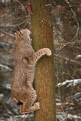 Climbing up a tree (Cloudtail the Snow Leopard) Tags: luchs winter schnee snow lynx katze cat feline animal tier säugetier mammal beutegreifer predator pinselohr klettern climb climbing tree baum wildpark pforzheim