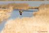 Western Marsh Harrier 1DX14779.jpg (alanmcbride1) Tags: bird birds capestang france occitanie aude languedoc westernmarshharrier