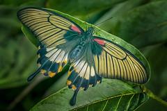Great Mormon  Papilio memnon (barriebrown) Tags: greatmormon butterflies wisley nature macro natureandnothingelse coffeetime