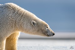 Polar Bear Profile (Glatz Nature Photography) Tags: alaska arcticalaska arcticnationalwildliferefuge kaktovic polarbears polarbearsandnorthernlights ursusmaritimus wildanimal wildlife predator patrol obligatecarnivore profile apexpredator headshot eyelevelview glatznaturephotography nanuk nikond5 nanook greatwhitebear nanuq westbay