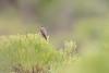 DSC_7442 (mylesm00re) Tags: f africa anthobaphesviolacea gantouwpass hottentotshollandnaturereserve nectariniidae orangebreastedsunbird oranjeborssuikerbekkie southafrica westerncape za bird