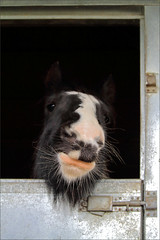 Duchess I (meniscuslens) Tags: horse trust pony piebald cob stable rescue charity buckinghamshire mare