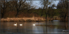 Follow The Leader. . (Picture post.) Tags: landscape nature green cygnets water reflections ice bluesky winter reeds swans three paysage arbre