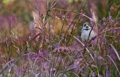 IMG_4324 Bird in a violet field (Rodolfo Frino) Tags: animal fauna bird flora plant plants wow flower flowers violet lila violeta natural nature natur naturaleza depthoffield mardelplata wild