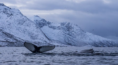 A gang of humpbacks taking it easy (Snemann) Tags: troms tromsø norway january pentaxk5 justpentax atsea kayaking padling seakayaking seascape smcpda1650mmf28edalifsdm humpback whales megapteranovaeangliae animals marinemammals wintersea