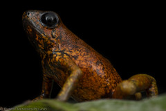 The Devil Frog (Oophaga silvatica) (Elson_Snakes) Tags: frogs oophaga dart herping colombiaherping wildlife amphibians herpetology macrophoto south america colombia frog rana anfibios herpetofauna anura anuros wildlifephotography elsonmenesespelayo