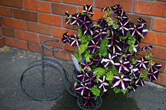 The Petunias are doing well (XPinger (Chris Sutton)) Tags: plantsandflowers petunias flowers topazdetail