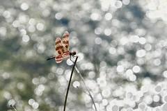 Dragonfly with diamonds! (ineedathis,The older I get the more fun I have....) Tags: halloweenpennant dragonfly odonata calithemiseponina calithemisbertha calithemislibelllidae anisoptera οδοντογναθα ανισοπτερα λιβελλοθλη αεροπλανακι nature pond summer bokeh insect nikond750