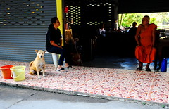 ,, Big Meeting ,, (Jon in Thailand) Tags: monk headmonk mama no1wife orange yellow bucket dog k9 buckets bigmeeting jungle nikon d300 nikkor 175528 street streetphotography streetphotographyjunglestyle spayneuter gameon blue politetime littledoglaughedstories