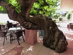 Μυστρας P1190794 (omirou56) Tags: 43ratio panasoniclumixdmctz40 μυστρασ δεντρο σκια πλατεια ελλαδα πελοποννησοσ outdoor strange tree shadow square greece hellas peloponnisos peloponnese peloponisos