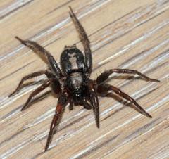 Parson Spider (Gnaphosidae) Herpyllus ecclesiasticus (feathersong1) Tags: parsonspider herpyllusecclesiasticus gnaphosidae
