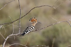 IO8A5410 (lienvg) Tags: bird fuerteventura vogel