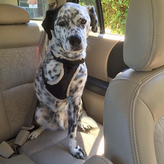 travel summer dog pets car driving harness statefarm autosafety