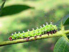 Saturnia pyri (Larva, Stage 4) (Lepsibu) Tags: saturniidae