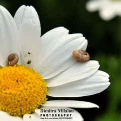 walking together across universe ... (dimitra_milaiou) Tags: world life friends light 2 two white flower macro green love nature beautiful beauty smile june yellow walking square island greek photography spring nice nikon europe moments close time earth live snail explore greece part planet daisy format andros cyclades apart dimitra 2015 d90 explored     milaiou