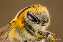 Bee (Karlgoro1) Tags: macro eye animal closeup canon bug insect eos photo eyes focus outdoor stack bee 7d f28 stacker mpe 65mm greatphotographers zerene specinsect macrolife