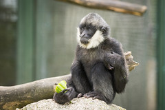 2015-05-23-10h30m14.BL7R8154 (A.J. Haverkamp) Tags: zoo czechrepublic dierentuin liberec tsjechi tsjechie whitecheekedgibbon witwanggibbon canonef100400mmf4556lisusmlens liberecregion httpwwwzoolibereccz