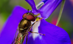 Drosophila funebris (Caleb4Ever) Tags: flower color colour macro fly wings eyes colorful colourful caleb4ever