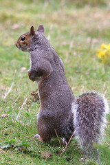 IMGP3074 Grey Squirrel (thinks he's a meerkat?), The Lodge, Sandy, August 2015 (bobchappell55) Tags: wild nature animal grey squirrel sandy reserve thelodge rspb