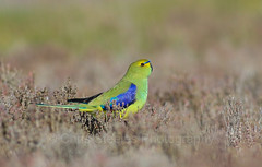 Blue-winged Parrot (chrissteeles) Tags: bird birding parrot sa southaustralia coorong cantara neophema bluewingedparrot