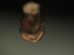 Celtis occidentalis (Bruce Kirchoff) Tags: usa unitedstates northcarolina hillsborough leafscar commonhackberry budscalescars wintertwigphoto