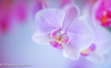 pink team of Autumn (frederic.gombert) Tags: flower flowers light sun sunlight autumn fall orchid orchidee plant inside interior macro nikon d810