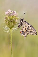 Schwalbenschwanz (HelmiGloor) Tags: schwalbenschwanz weiach papiliomachaon tagfalter ritterfalter olympusem1 focusbracketing focusstacking schmetterling schmetterlinge butterfly makro butterflies macro wildlife nature