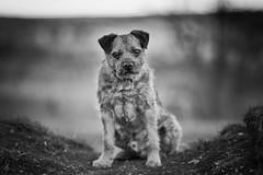 . . . auld dods (orangecapri) Tags: orangecapri hmbt bokeh dog olddog mono blur dogexpression dogsface canine vignette pet bt borderterrier george terrier eyes animalface f2 135f2l walk explore explored inexplore
