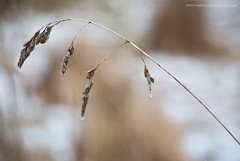 Tears dry on their Own (Damon Finlay) Tags: nikon d750 nikond750 nikkor 80200mm f28 nikkor80200mmf28 nature grass focus stacking focusstacking winter fife earlymorning