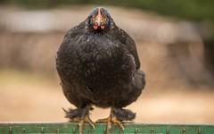chick (36) (Vlado Ferenčić) Tags: animals animalplanet birds chick zagorje kokoš hrvatska hrvatskozagorje croatia nikond600 nikkor8020028