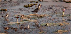 Walk this way!      DSC_6996 (BlueberryAsh) Tags: bird combcrestedjacana jacana babybirds kakadu northernterritory australia lily pads jesusbird southalligatorriver tamron150600 nikond750